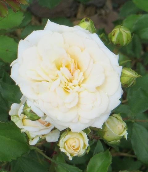 White Drift Rose2 5-31