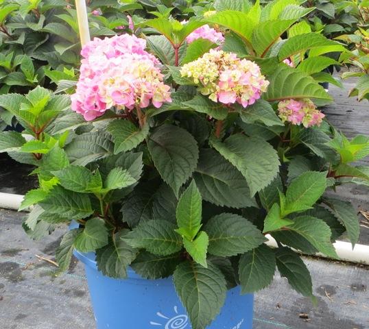 BloomStruck Hydrangea 8-10