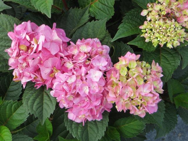 BloomStruck Hydrangea2 8-10