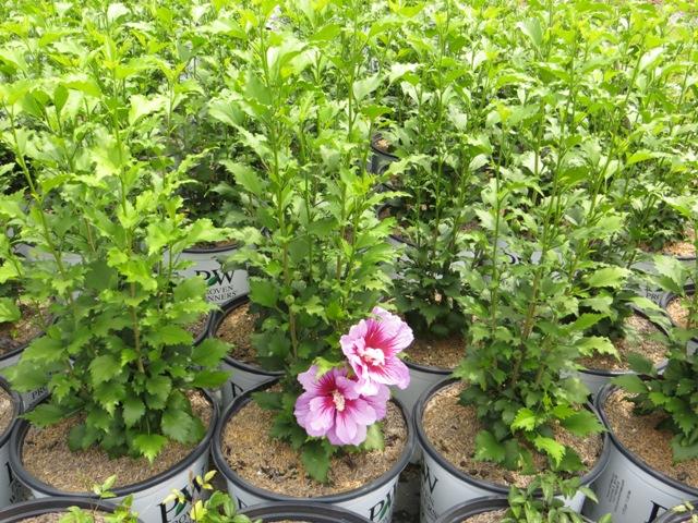 Purple Pillar Hibiscus 8-10