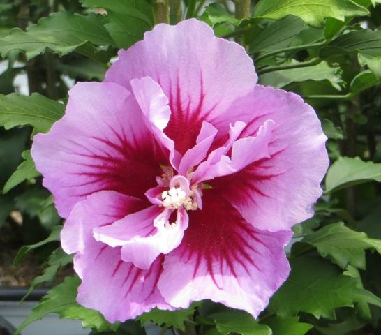 Purple Pillar Hibiscus2 8-10