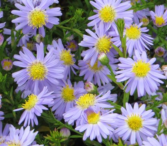 kickin-lavender-aster-9-20-16