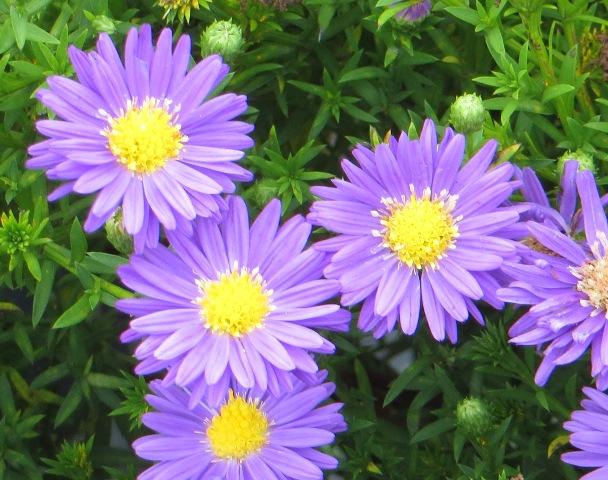 kickin-lilac-blue-aster-9-20-16