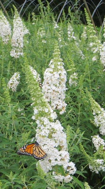 white-profusion-butterfly-bush2-9-20-16