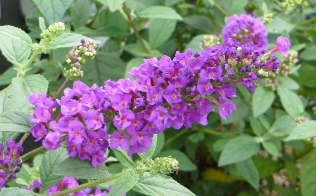miss-violet-butterfly-bush