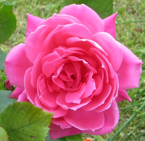 Pink Double Knock Out Rose 5-11
