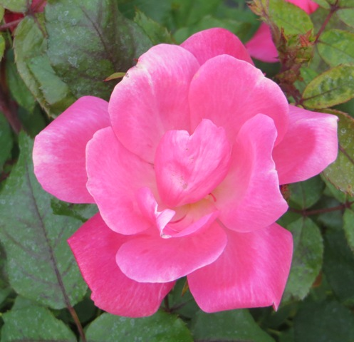 Pink Knock Out Rose 5-11
