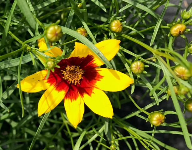 Curry Up Coreopsis 6-22