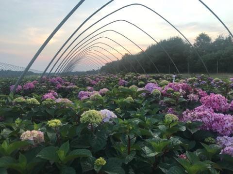 BloomStruck Hydrangea2 7-18