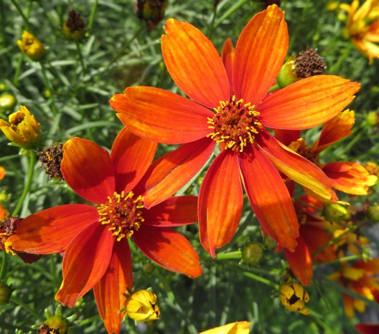 Crazy Cayenne Coreopsis 7-12
