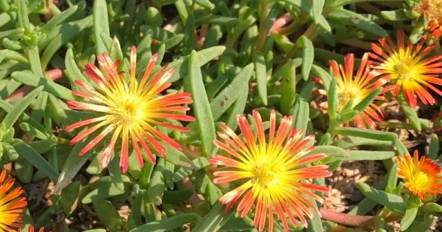 Delosperma Fire Wonder2 7-20
