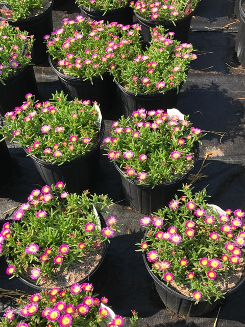 Delosperma Hot Pink Wonder 7-20