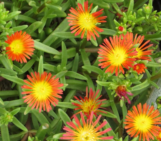Fire Wonder Delosperma2 7-27