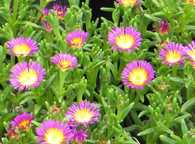 Hot Pink Wonder Delosperma2 7-27