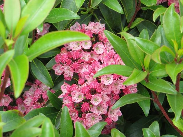 Raspberry Glow Kalmia 5-31
