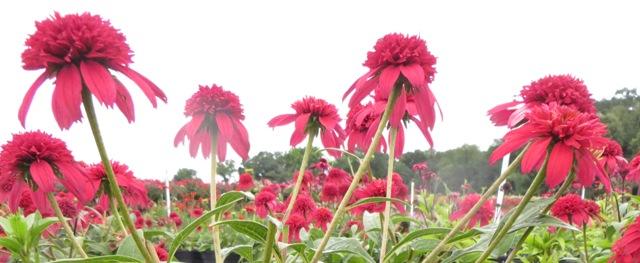 Double Scoop Cranberry Echinacea2 8-8