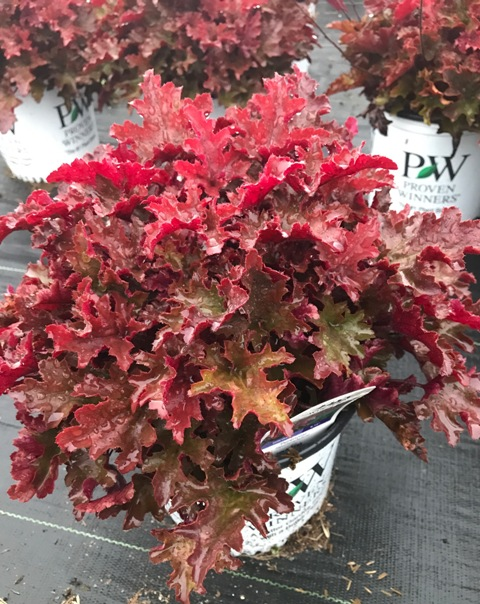Cinnamon Curls Heuchera 9-4