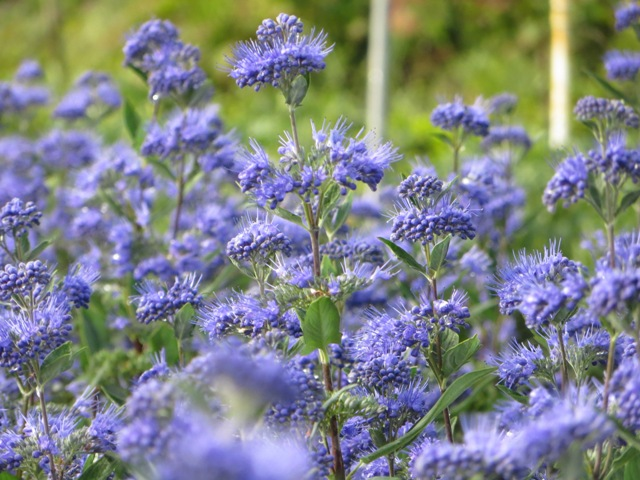 Dark Knight Caryopteris5 9-14