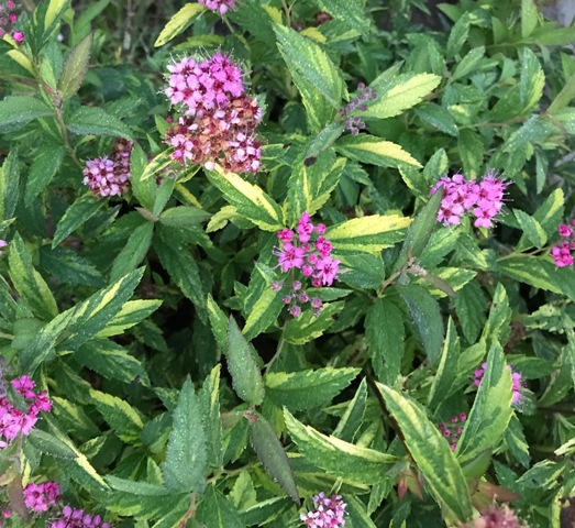 Double Play Painted Lady Spiraea 9-22