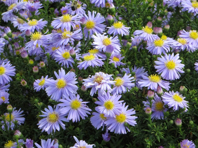 Kickin Lavender Aster3 9-14