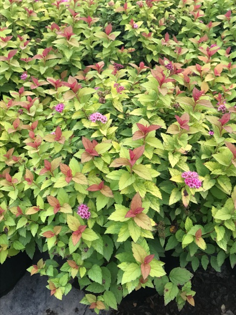 Magic Carpet Spiraea2 9-27