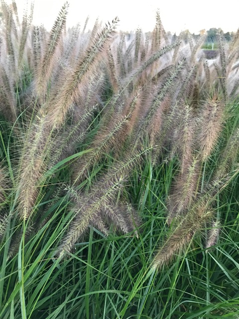 Red Head Pennisetum5 10-5