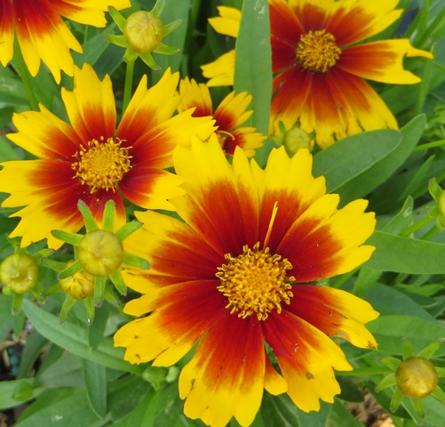 Uptick Gold and Bronze Coreopsis 5-31