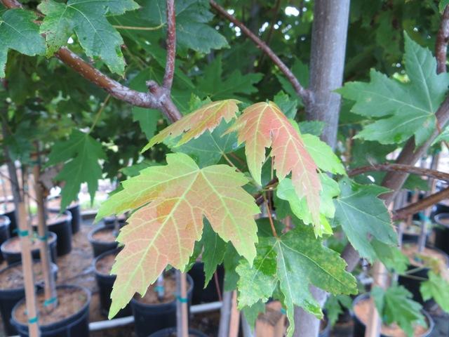 Autumn Blaze Maple 6-21