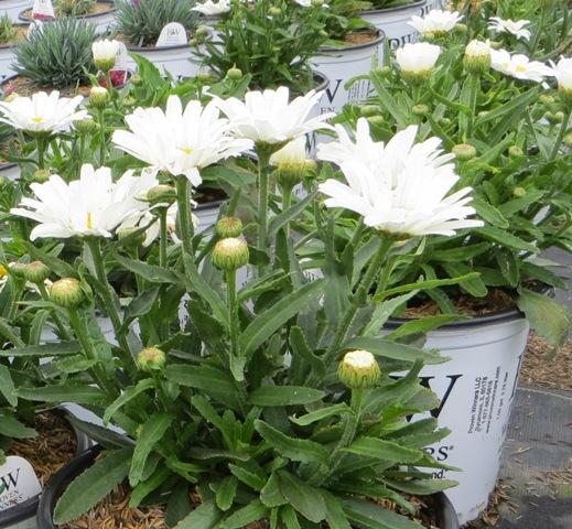 Daisy May Leucanthemum 6-21