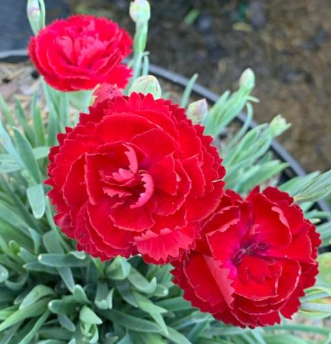 Electric Red Dianthus3 6-14