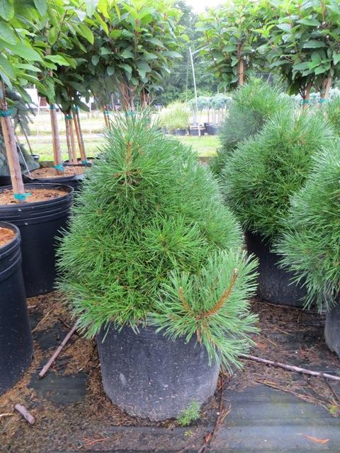 Green Penguin Pine2 6-21