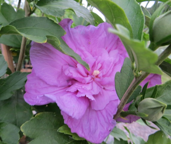 Lavender Chiffon Hibiscus Tree2 6-14