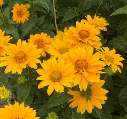 Tuscan Gold Heliopsis 6-25