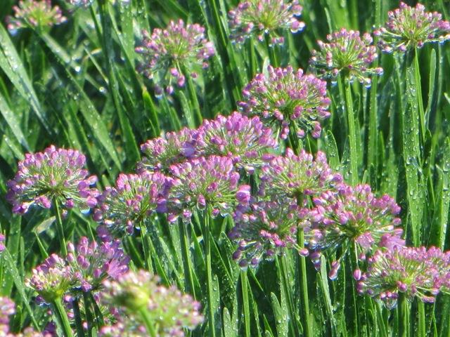 Allium Millenium 7-5