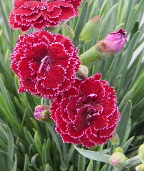 Black Cherry Frost Dianthus2 7-11