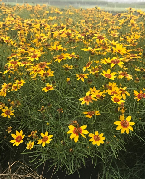 Curry Up Coreopsis 7-5