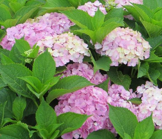 Everlasting Harmony Hydrangea 7-11