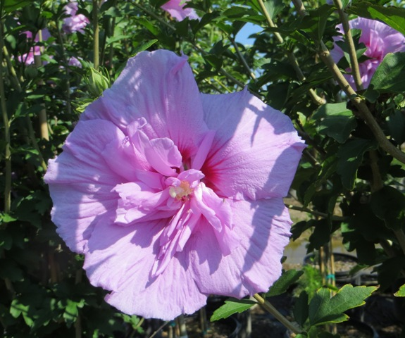 Lavender Chiffon Hibiscus Tree2 7-5