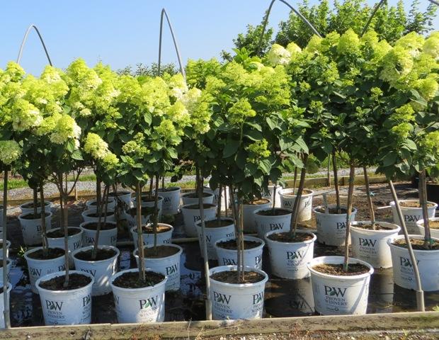 Limelight Hydrangea Tree4 7-5