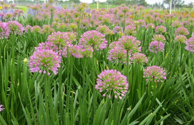 Millenium Allium 7-11