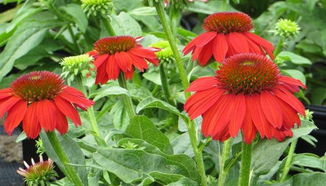 Salsa Red Echinacea 7-11
