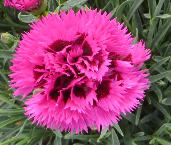 Spiked Punch Dianthus 7-11