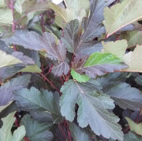 Diabolo Physocarpus 9-20