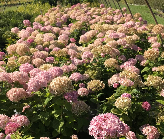 Incrediball Blush Hydrangea2 9-20