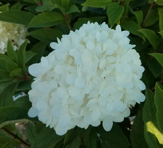 Little Lamb Hydrangea3 9-20
