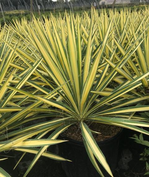 Color Guard Yucca 10-2