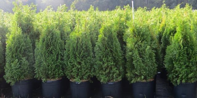 Emerald Green Arborvitae6 10 gallon 9-27