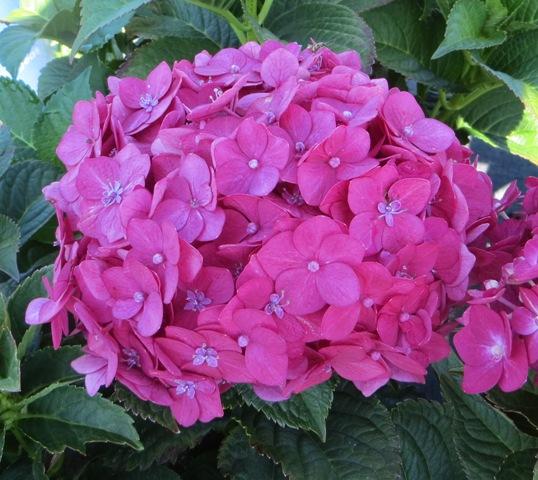 Summer Crush Endless Summer Hydrangea 9-27