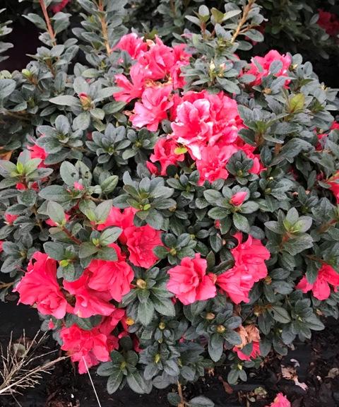 Azalea Autumn Princess Pp12142 Azalea Hybrid Encore Riggins Nursery Llc