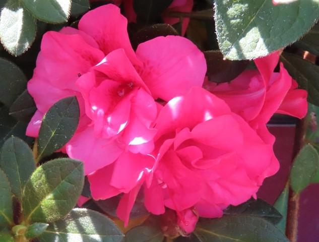 Autumn Rouge Encore Azalea4 9-25